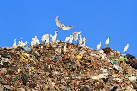 Bird on mountain of garbage  photo