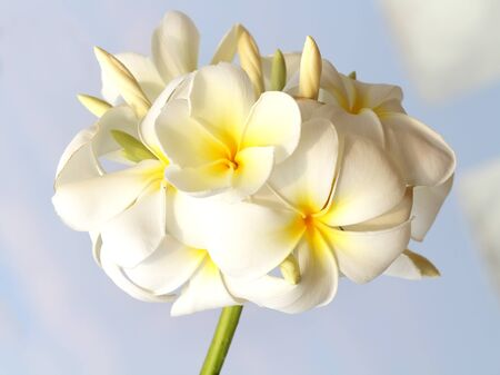 close up of Frangipani photo