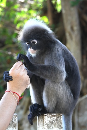 Dusky Leaf Monkey photo