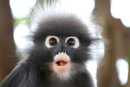 Mono de Hoja Oscura