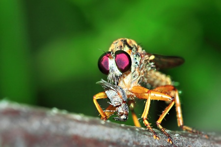 Giant Robber Fly with Prey photo