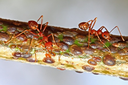 ant and aphid photo