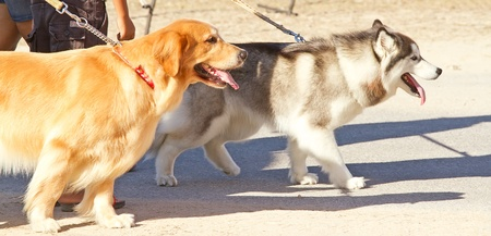 dog leash: walking on the street with dog Stock Photo