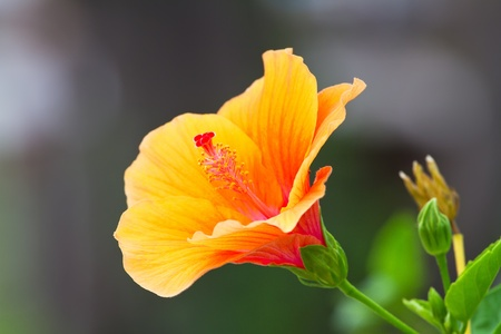 Hibiscus flower Stock Photo - 13231562