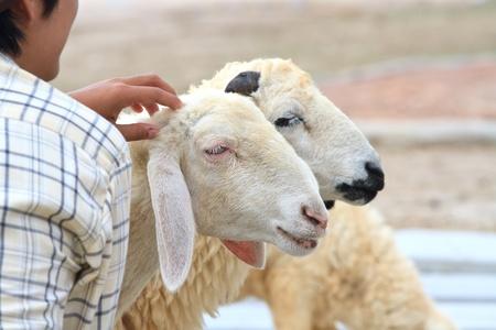 sheep Stock Photo - 13231564