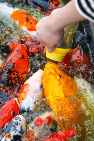 Feeding carp by hand photo