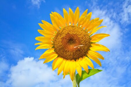 Beautiful sunflowers  with bright blue sky photo