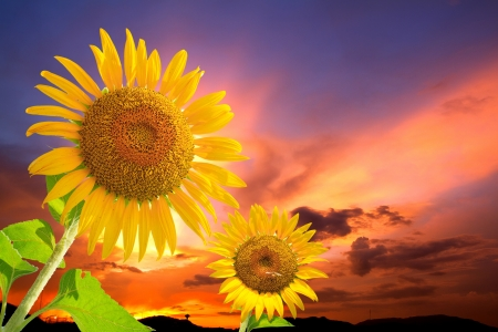 sunflowers and sunset photo