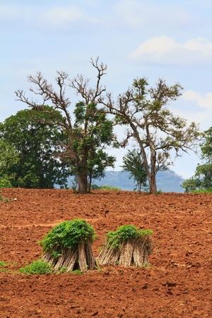 Cassava field in Thailand photo