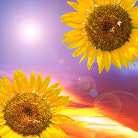 sunflowers and sunset photo