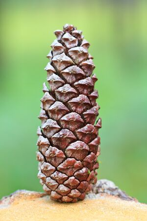 The Pine cone photo