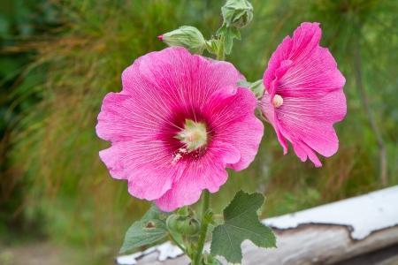 alcea: Malva rosa (hollyhock, Alcea rosea)