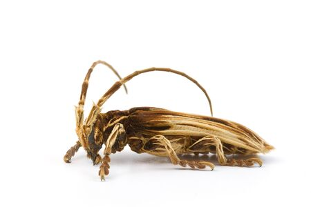 longhorn beetle: Macro shot of a longhorn beetle On white background Stock Photo