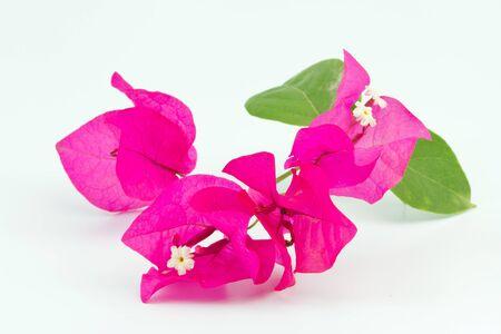 ornamental horticulture: Bougainvillea over white background Stock Photo