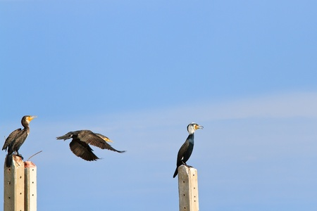carbo: Side view of a Great Cormorant (Phalacrocorax carbo)