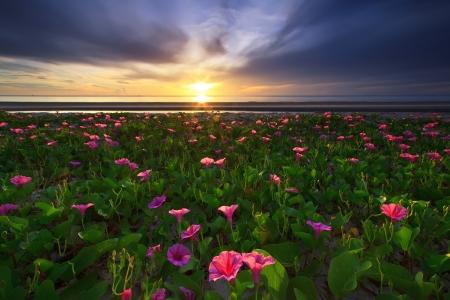 twining: beautiful beach morning glory on the huahin beach, Thailand