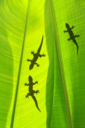 shadow of a gecko on a bananas leaf photo