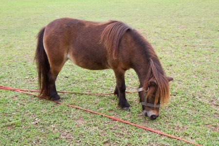 Dwarf Horse eating grass Stock Photo - 16253505