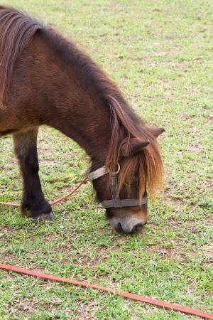 Dwarf Horse eating grass photo