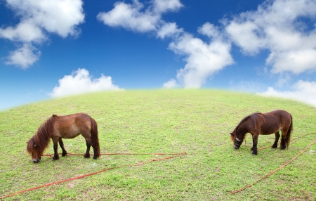 Dwarf Horse eating grass Stock Photo - 16253478