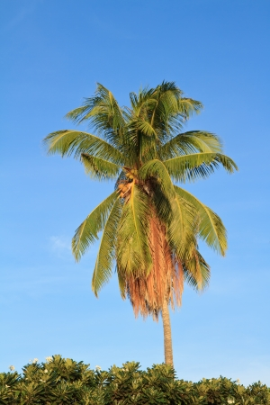 Coconut tree on the blue sky photo