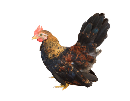 bantam hen: A small bantam rooster hen  on a white background