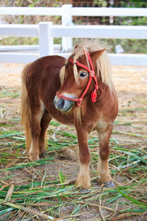 Mini dwarf horse in a pasture at a farm photo