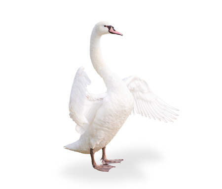 Single white goose isolated on white background photo