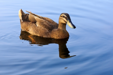 Portrait of a females of duck on the water photo