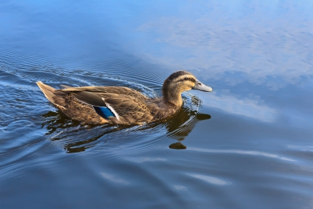 Duck swimming in the blue lake photo