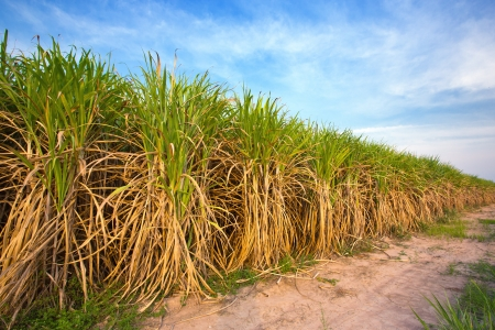 cane sugar: Sugarcane field in blue sky and white cloud in Thailand Stock Photo