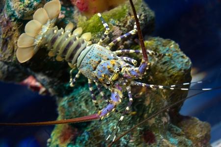 spiny: Spiny Lobster