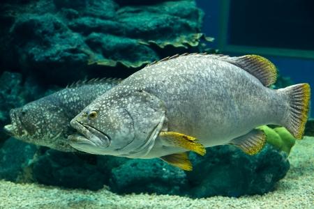 potato cod: Giant Potato cod