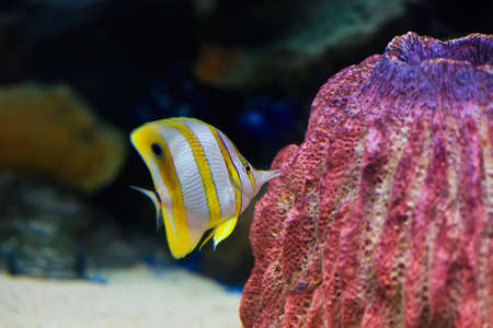 copperband: Copperband Butterflyfish