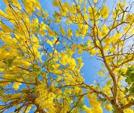 fistula: Flower of Golden Shower Tree, Thai National Flower