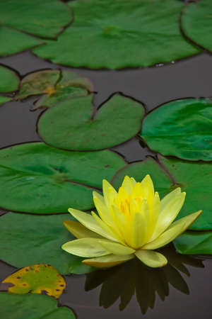 Yellow water lily ~ Chromatella 1 Stock Photo