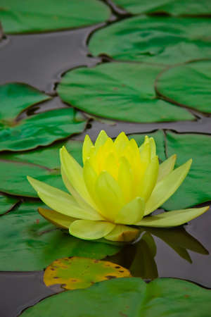 Yellow water lily ~ Chromatella 3