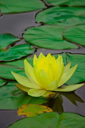 Yellow water lily ~ Chromatella 3