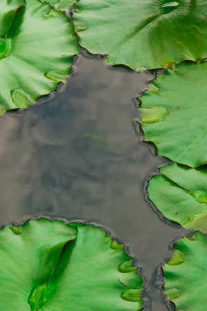 Lotus leaves & reflection of sky on the water Stock Photo