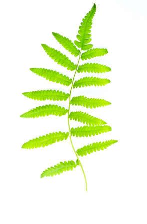 Fern leaves are green on a white background  Ideal for use as wallpaper  Fern leaves Stock Photo