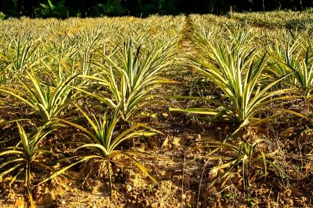 Agriculture is the cultivation of pineapple in Thailand  The pineapple  Thailand Stock Photo - 16076866