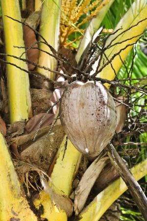 Closeup coconuts on coconut tree Coconut Stock Photo - 17717711