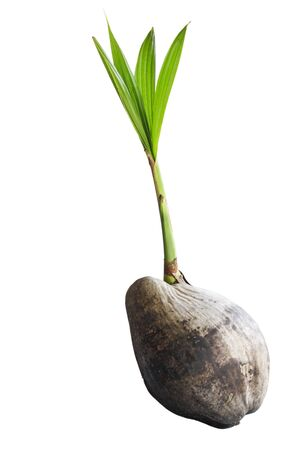 coconut seedlings: Coconut trees are growing  It is on a white background  Coconut tree  Stock Photo