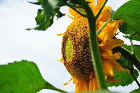 Sun flower against a blue sky Sun flower  photo
