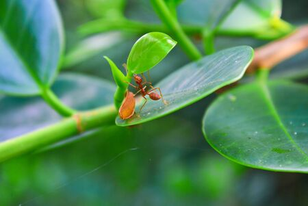 Backlit Red Ant on a stalk of leaves Red ant  photo