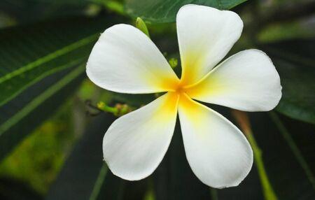 five petals: The plumeria has five petals, yellow middle, outside white  Plumeria