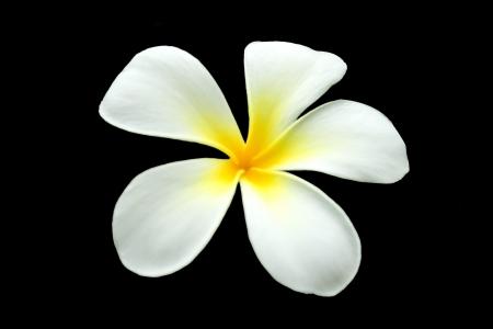 five petals: The plumeria has five petals on black background