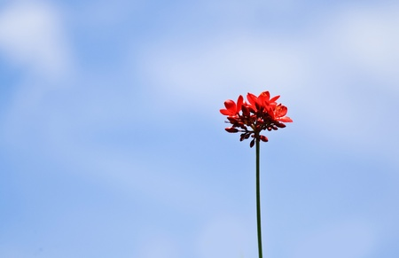 Close up Red Flower on blue sky  Red Flower  photo
