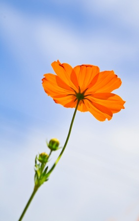 Close up Yellow Cosmos flower on blue sky  photo