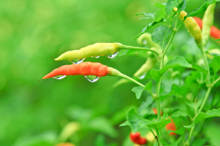 bush pepper: Green and red chilli peppers growing  Stock Photo